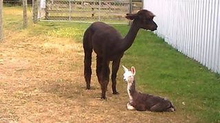 27th Dec 2014 Azurite with her first baby a little boy Lotus